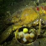 Kamberkrebs, Amerikanischer Flusskrebs, Tauchen in Deutschland