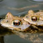 Erdkrötenpaar zur Laichzeit, Erdkröte (Bufo bufo)