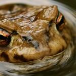 Erdkröte zur Laichzeit