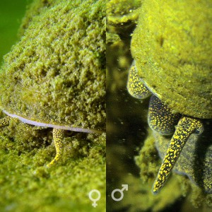 Sumpfdeckelschnecke (Viviparidae), Weibchen, Männchen