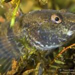Marmorierte Süßwassergrundel, Proterorhinus semilunaris, Nasengrundel, Fisch, Neozoen, Tauchen in Deutschland